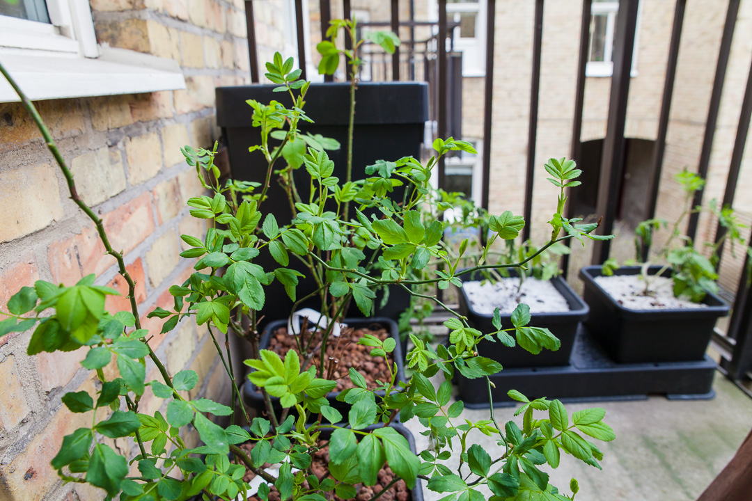 odla gurka på balkong