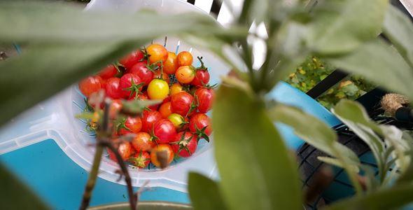 Lär dig odla tomat kvällskurs