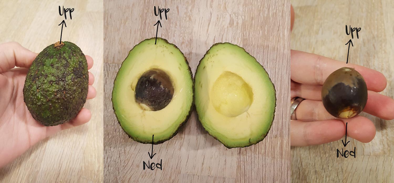 Avokado – saker du kanske inte vet om avokado